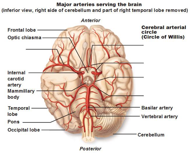 http://www.joeniekrofoundation.com/understanding/brain-basics/attachment/major-arteries-of-the-brain-inferior-view-cerebral-arterial-circle-circle-of-willis/