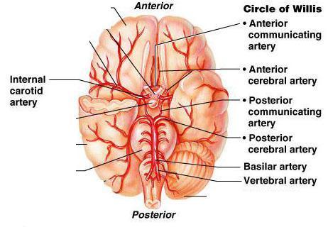 https://www.joeniekrofoundation.com/understanding/brain-basics/attachment/circle_of_willis1351714538351/